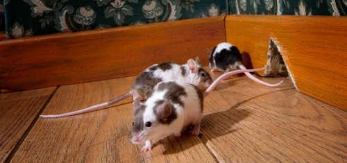 how to kill mice when you have pets
