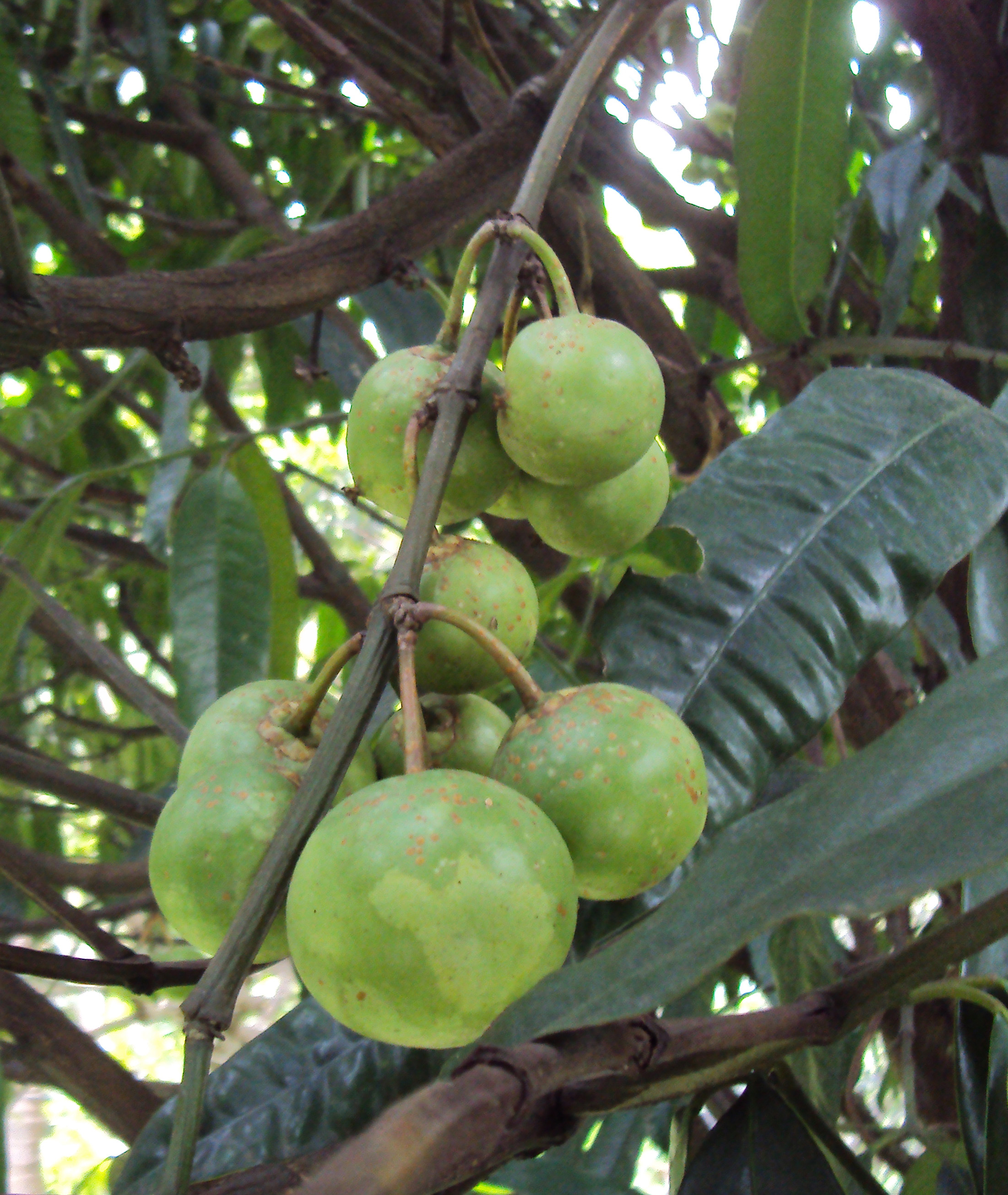 How To Boost Your Metabolic Rates And Energy Levels Using Garcinia Cambogia